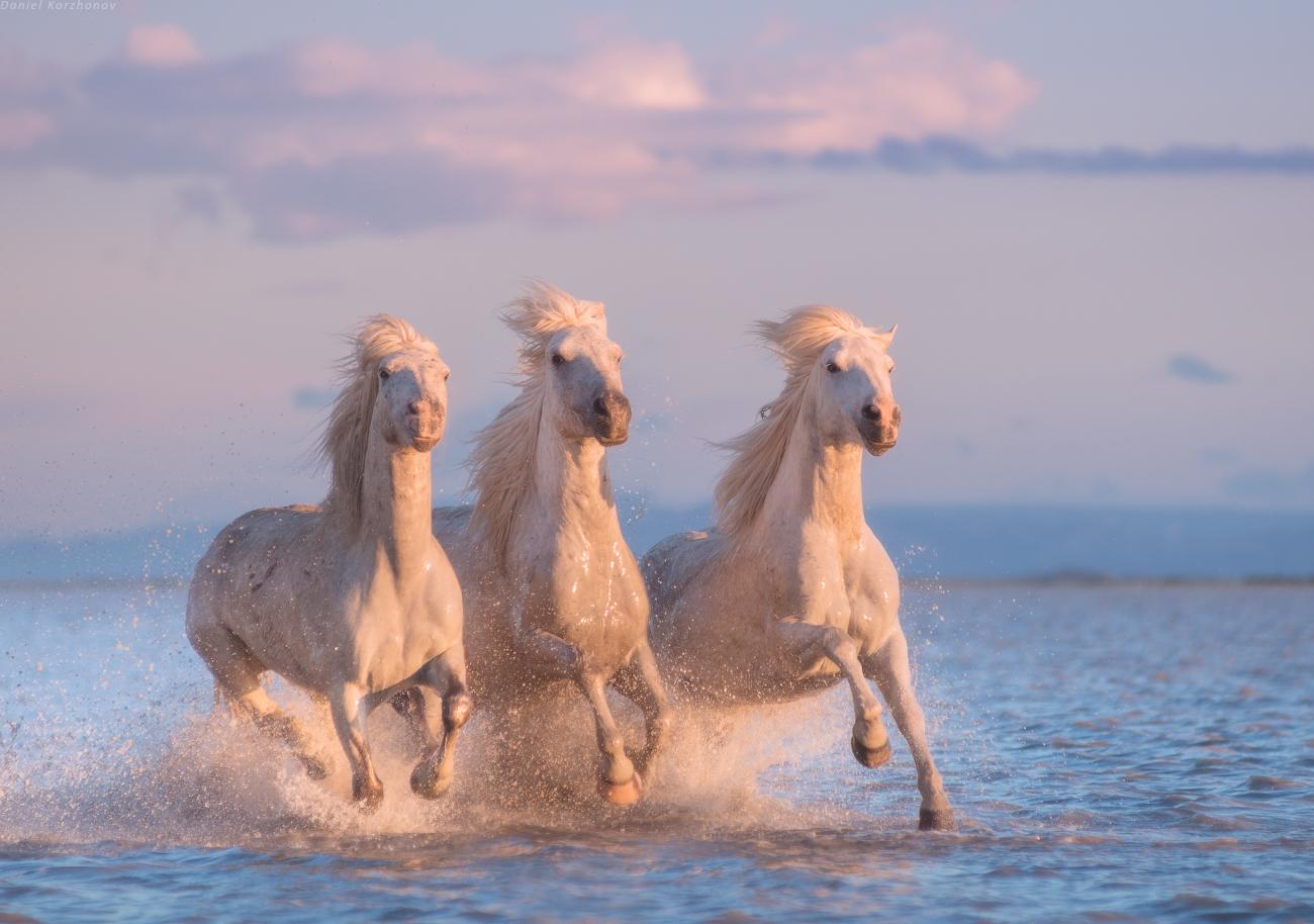 White Horses Of Camargue Photo Workshop 25 29 June 4 Spots Available Daniel Kordan